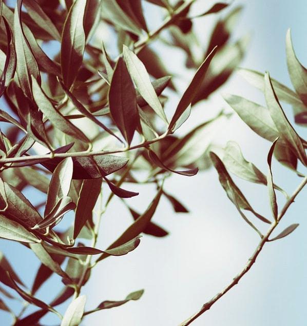 ceai de frunze de maslin