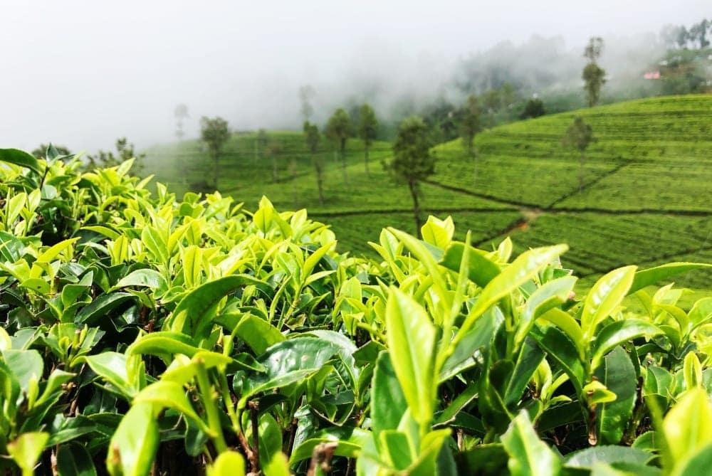 despre ceaiul verde